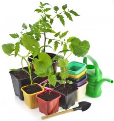 plantas pimiento